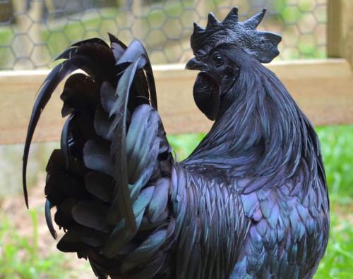 الدجاج الأسود الاندونيسي