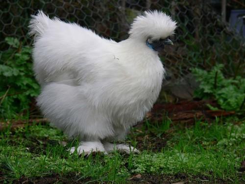 الدجاج اﻷسود الصيني