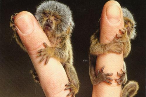 أصغر قرد فى العالم يمكنك أن تحمله علي أصبعك بسهولة !