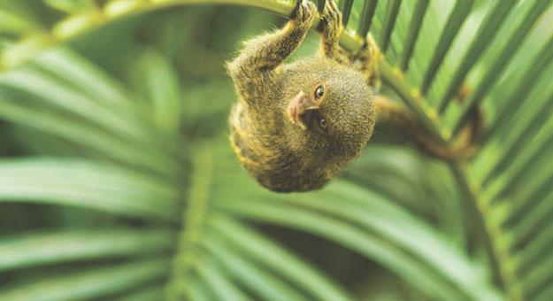 أصغر قرد في العالم في الحياة البرية