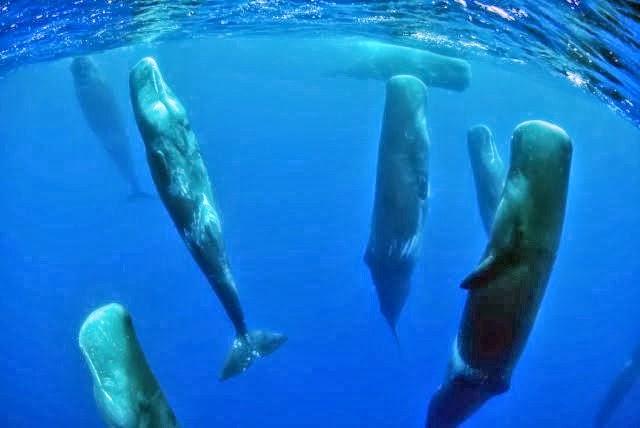 حيتان العنبر لها طريقة للنوم تختلف عن معظم الحيتان الأخري