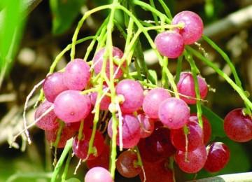 عناقيد فاكهة الكباث