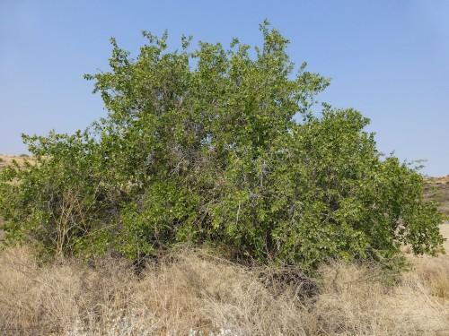 اﻷراك شجرة دائمة الخضرة وتتحمل أصعب الظروف الصحراوية