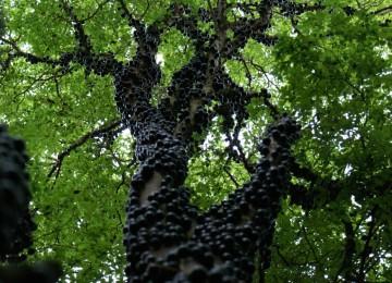 من الوهلة اﻷولي يظن البعض أنها حشرات متجمعة على جذع الشجرة ولكنها في الحقيقة هي ثمارها