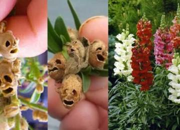 زهور التنين واحدة من أغرب الزهور شكلاً عند ذبولها