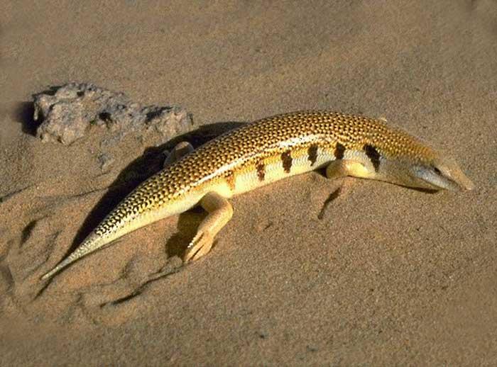 سمك الرمال