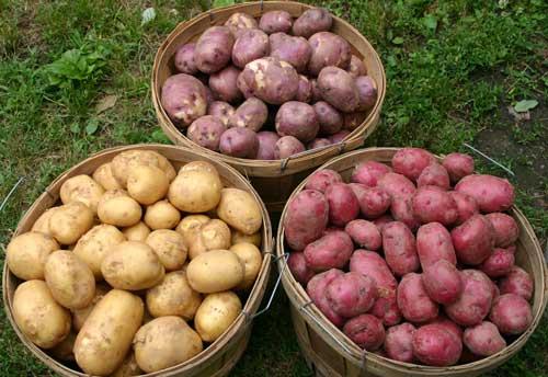 تحتوي البطاطس البنفسجية على مستوى كبير من مادة الأنثوسيانين المضاد للأكسدة