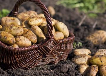 فوائد وأضرار تناول البطاطس
