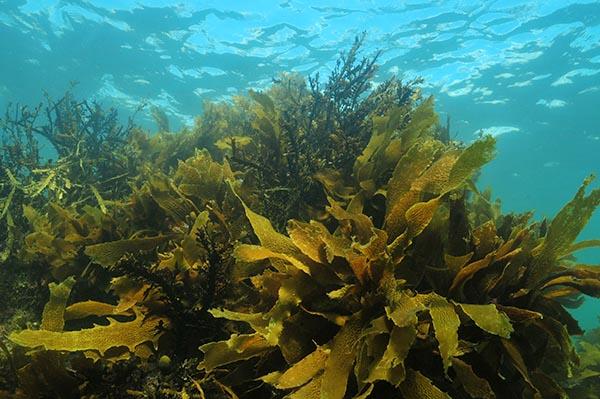 الطحالب واﻷعشاب البحرية لها فوائد وأستخدامات لا حدود لها