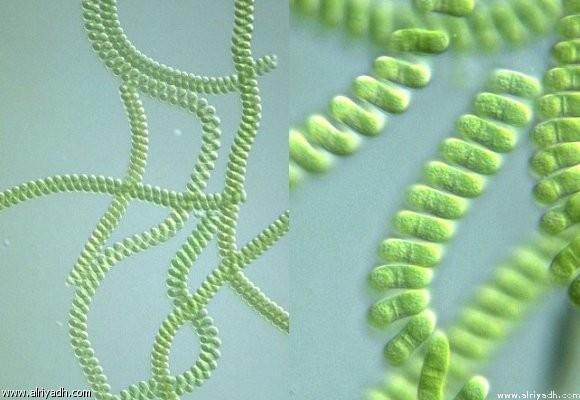 """طحالب الـ """"سبيرولينا Spirulina"""" تعد أول نبات ظهر علي وجه اﻷرض"""