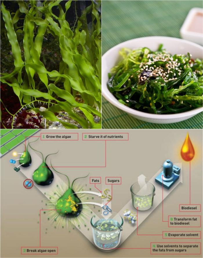 الأعشاب والطحالب البحرية تدخل في العديد من المجالات